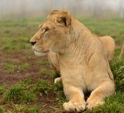 Retrato lateral de la leona Foto de archivo libre de regalías