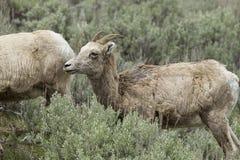 Retrato lateral de usted ovejas de carnero con grandes cuernos imagenes de archivo