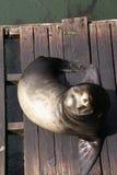 Retrato, leão de mar de Califórnia, no cais, fotos de stock royalty free