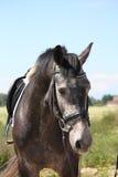 Retrato letão cinzento do cavalo da raça no verão Fotografia de Stock