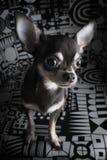 Retrato lindo de la chihuahua Fotografía de archivo