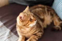 Retrato lindo de un gatito escocés derecho foto de archivo