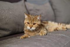 Retrato lindo de un gatito escoc?s derecho foto de archivo libre de regalías