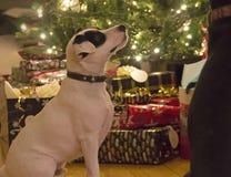 Retrato lindo del día de fiesta del perro Fotografía de archivo