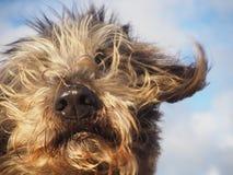 Retrato lindo del perro con el vuelo del pelo en el viento Imagen de archivo libre de regalías