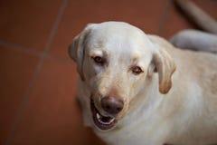 Retrato lindo del perro de Labrador Fotografía de archivo libre de regalías