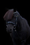 Retrato lindo negro del potro en fondo negro Fotos de archivo