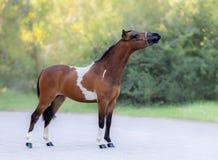 Retrato lleno del cuerpo del caballo miniatura pintado imagenes de archivo