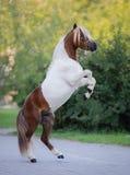 Retrato lleno del cuerpo del caballo miniatura pintado fotografía de archivo