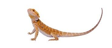 Retrato lleno del dragón Foto de archivo libre de regalías
