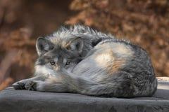 Retrato lleno mexicano del cuerpo del lobo gris Imagen de archivo libre de regalías