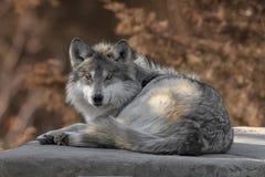 Retrato lleno mexicano del cuerpo del lobo gris Imagen de archivo