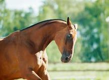 Retrato móvil del caballo de bahía con el contraluz Fotos de archivo libres de regalías
