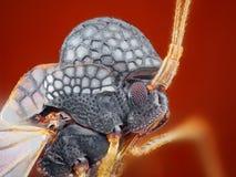 Retrato macro afiado e detalhado extremo do inseto desconhecido pequeno tomado com objetivo do microscópio empilhado de muitos ti imagem de stock royalty free