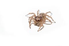Retrato macro da aranha Imagem de Stock Royalty Free