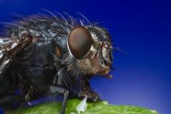 Retrato macro da mosca Fotografia de Stock