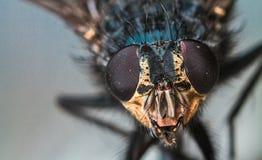 Retrato macro da mosca Fotos de Stock