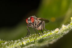 Retrato macro da mosca Imagens de Stock Royalty Free
