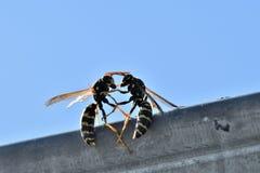 retrato macro da vespa dois que luta na madeira da árvore Fotografia de Stock Royalty Free