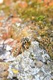Retrato macro da vespa que senta-se na madeira da árvore Imagem de Stock Royalty Free