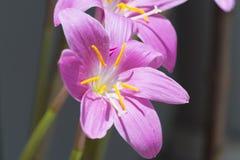 Retrato macro roxo do autumnale do Colchicum fotografia de stock