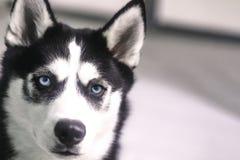 Retrato magnífico de Husky With Blue Eyes fotografía de archivo libre de regalías