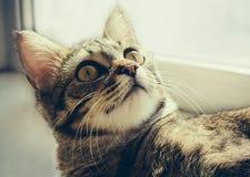 Retrato magnífico del gato con los ojos amarillos Fotografía de archivo libre de regalías