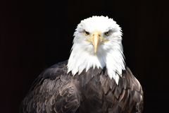 Retrato majestoso maravilhoso de uma águia americana americana com um fundo preto foto de stock