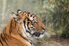 Retrato malayo del primer del tigre en fondo verde borroso imagen de archivo