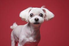 Retrato maltés del estudio del perrito Imagenes de archivo