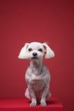 Retrato maltés del estudio del perrito Foto de archivo
