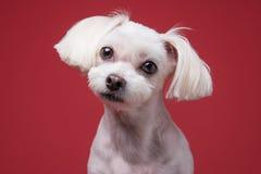 Retrato maltés del estudio del perrito Fotografía de archivo