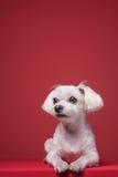 Retrato maltés del estudio del perrito Fotos de archivo libres de regalías
