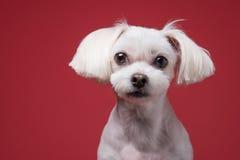 Retrato maltés del estudio del perrito Imagen de archivo