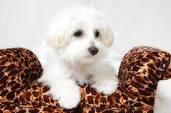 Retrato maltês do filhote de cachorro imagens de stock royalty free