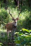 Retrato manchado de los ciervos Foto de archivo libre de regalías