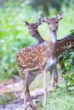 Retrato manchado del fauno de los ciervos Imagen de archivo