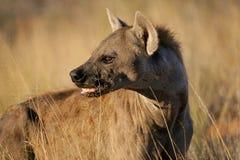 Retrato manchado do hyena fotografia de stock
