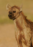 Retrato manchado do hyena Imagem de Stock