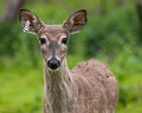 Retrato marcado con etiqueta de los ciervos de Whitetail Imagen de archivo libre de regalías