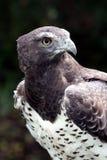 Retrato marcial del águila fotografía de archivo libre de regalías
