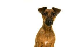 Retrato marrón de Jack Russel del moreno aislado en blanco Imagen de archivo libre de regalías