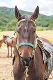 retrato marrón del caballo Fotos de archivo libres de regalías