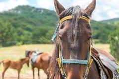 retrato marrón del caballo Imágenes de archivo libres de regalías