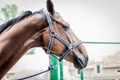 Retrato marrón hermoso del caballo del lado derecho Foto de archivo