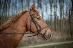 Retrato marrom bonito do cavalo com a floresta do freio na primavera imagens de stock