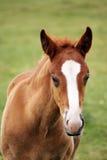 Retrato marrom bonito do potro Fotografia de Stock Royalty Free