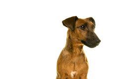 Retrato marrom bronzeado de Jack Russel no branco Foto de Stock Royalty Free