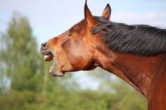 Retrato marrom de bocejo do cavalo Imagens de Stock