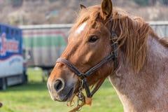 retrato marrom do cavalo Fotografia de Stock